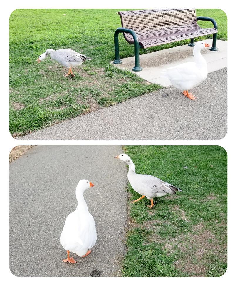 Friendly Neighborhood Geese