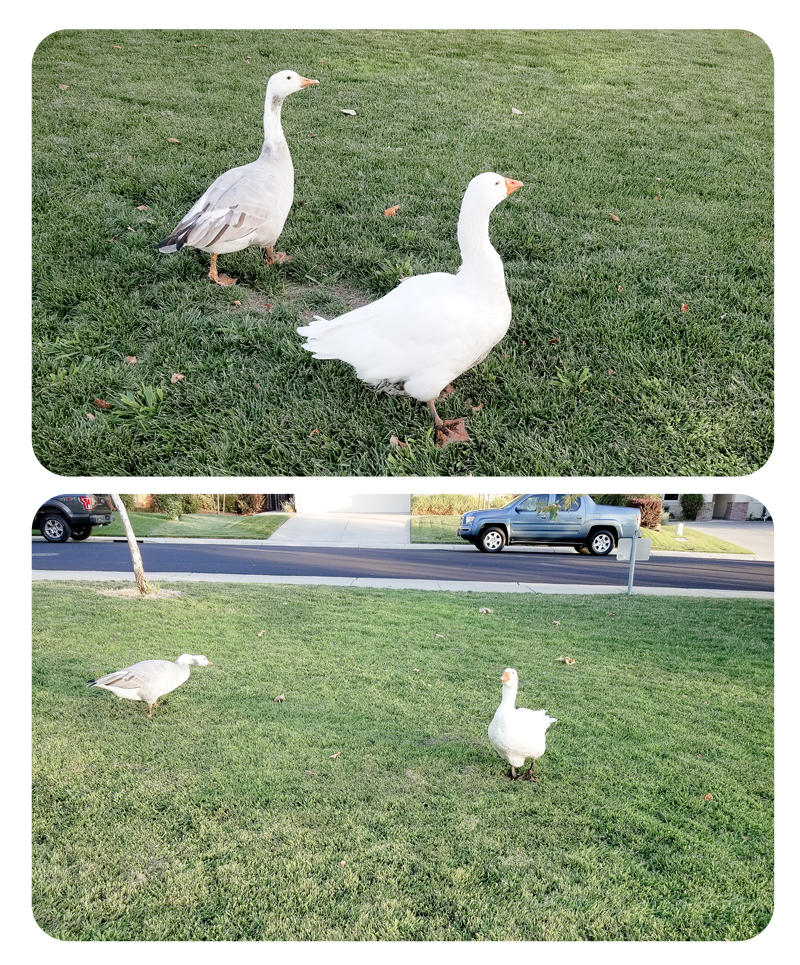 More Pictures of Geese