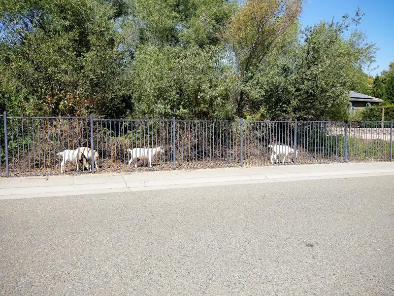 Random Goats
